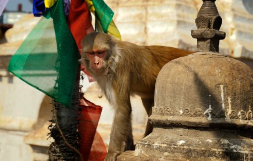 Makak rhéza v Káthmándú